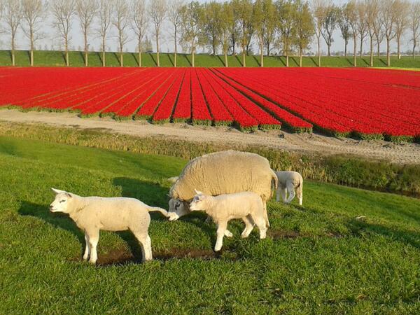 Paasweekend in Westfriesland met veel tulpenvelden [foto's]