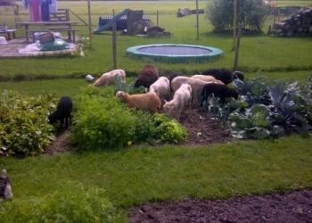 Vrouw ontdekt grazende schapen in haar moestuin