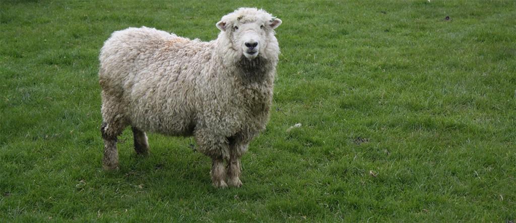 Wandelen en schapen op Asoniaterrein in afwachting woningbouw