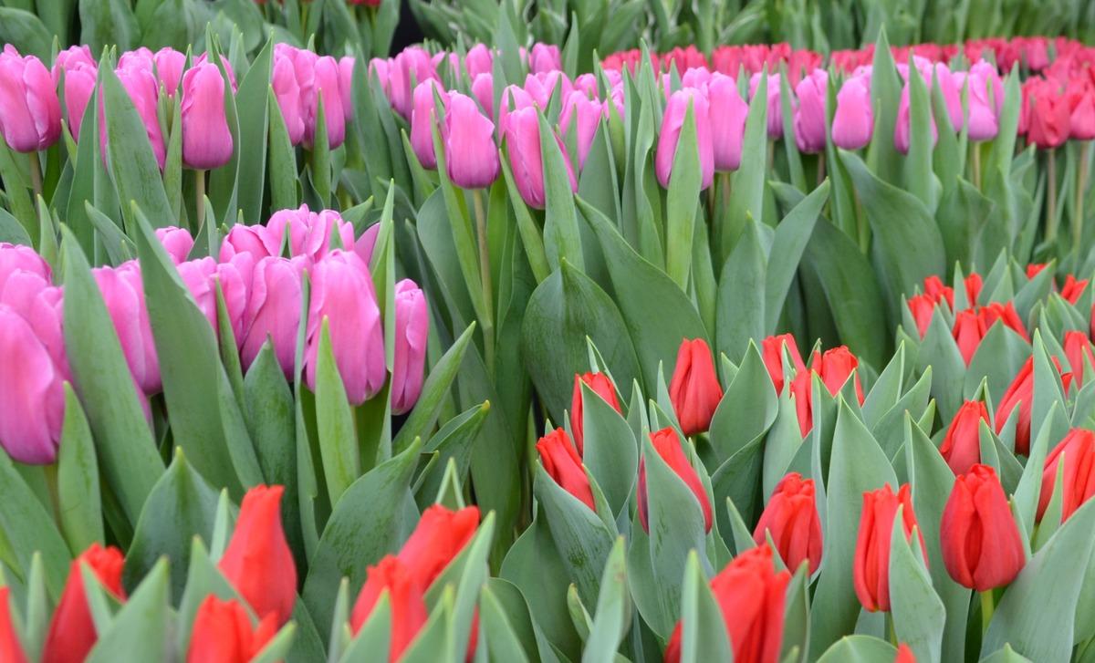 Bovenkarspel, Enkhuizen en Andijk in top 3 NL tulpenvelden