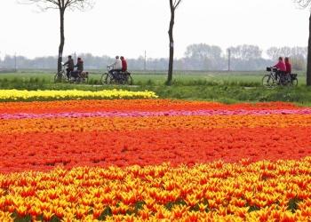 Bloeiende tulpenvelden met 7e Fiets4Daagse Hoorn