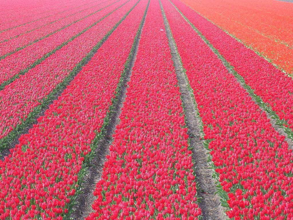 26 april 3e tulpentocht: Wandelen van Nibbixwoud naar Andijk