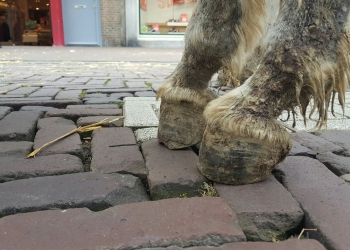 Dierenpolitie geeft ezel per direct rust bij ponymarkt Hoorn