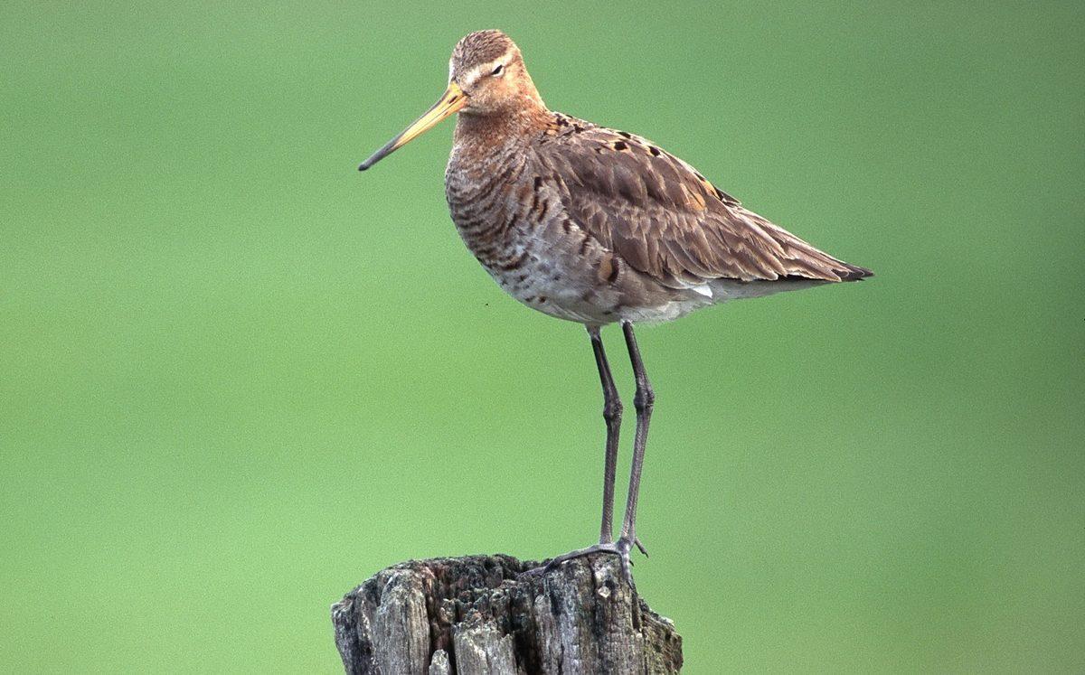 Provincie: 'Weidevogels blijven extra aandacht verdienen'