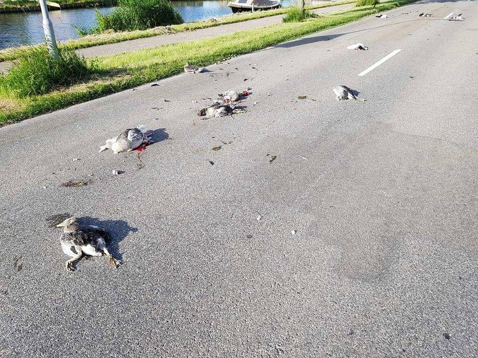 'Grote groep jonge ganzen bewust aangereden'