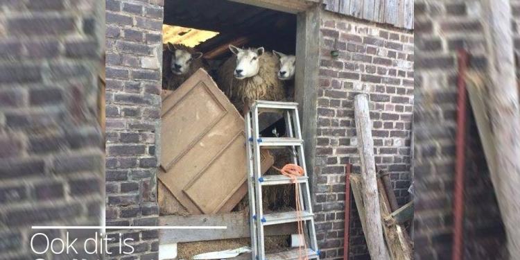 35 schapen half jaar opgesloten in vervuilde stal