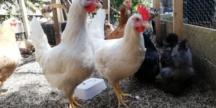Kippen geschonken aan gedupeerd Kinderboerderij de Hussel