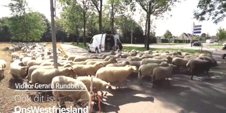 Laatste rondje voor wollige grazers in Hoorn