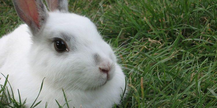 Dierenambulance waarschuwt voor dodelijke ziekte onder konijnen