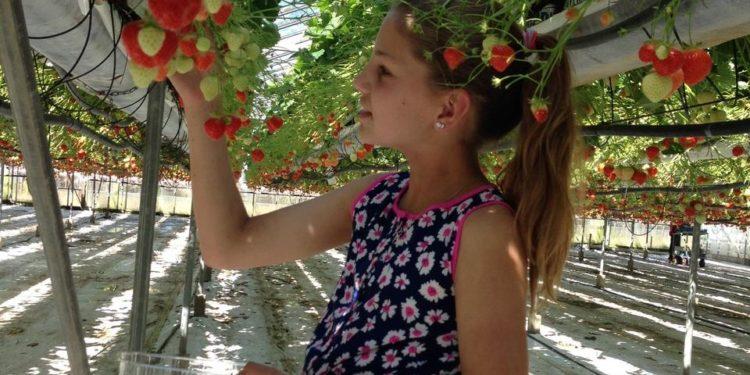 In de herfstvakantie zelf aardbeien plukken bij de familie Vriend