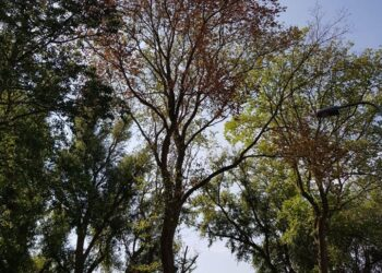 Snelle noodkap oplossing voor vele bomen met iepziekte in Medemblik