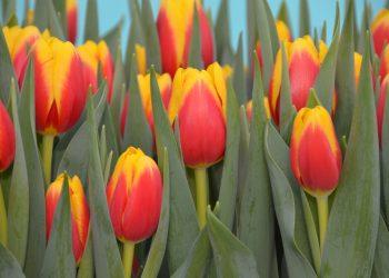 'Ready' wint Interpolis Tulpenprijs 2021 op Vaktentoonstelling Zwaagdijk