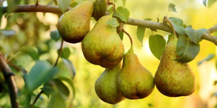Welwonen deelt gratis 1500 perenbomen uit