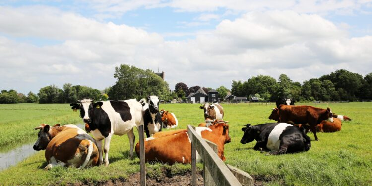 Pratende koeien leren verstaan in het rundveemuseum