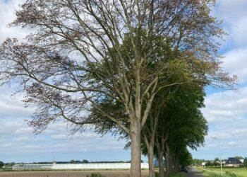70 Zieke iepen in Spierdijk en Twisk worden spoedig gekapt en verwijderd